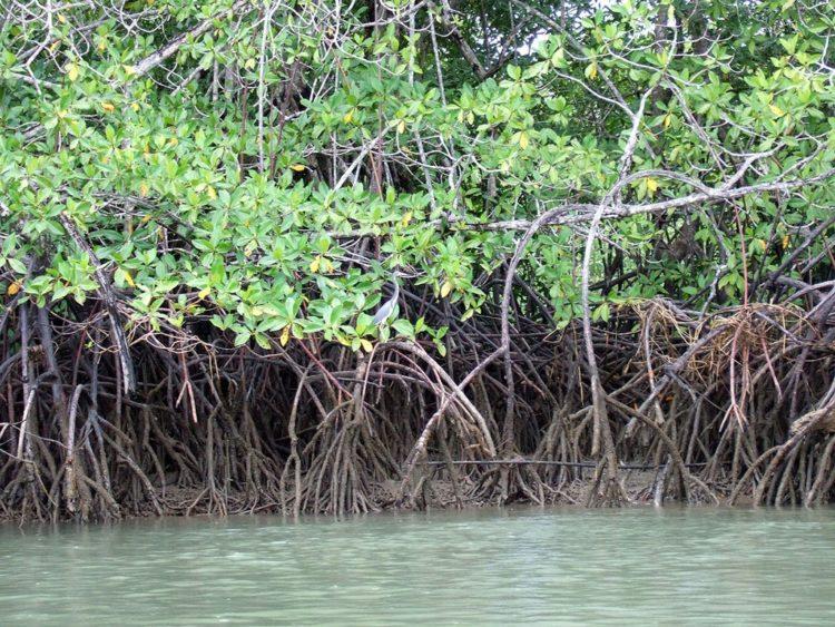 rhizophora-mangle