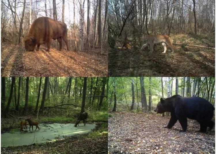 animales en Chernobyl