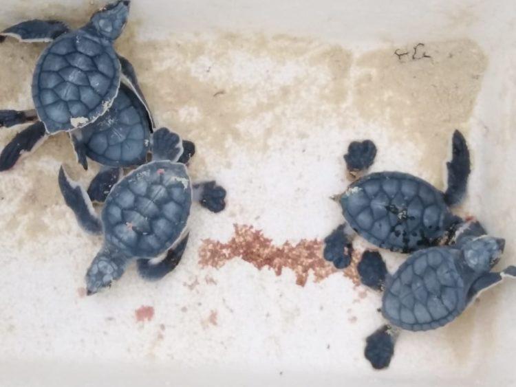Dicen en Ecología que no están para cuidar tortugas